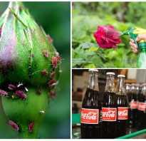 Как избавиться от тли на розах в домашних условиях