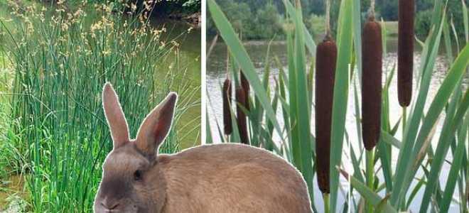 Можно ли кроликам давать камыш