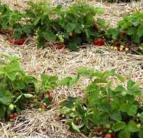 Как мульчировать клубнику соломой