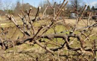 Как обновить старый куст винограда