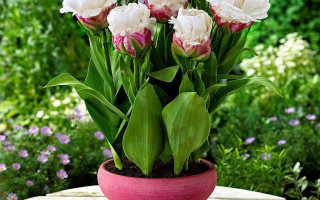 Тюльпан в горшке уход в домашних условиях