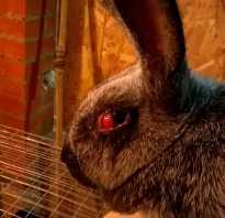 Глаза у кролика красные глаза и уши