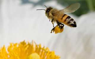 Как собирают нектар пчелы