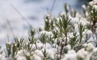 Как укрыть лаванду на зиму в подмосковье