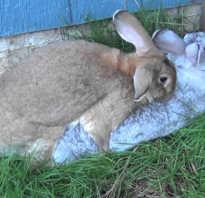 В каком возрасте можно подпускать крольчиху к кролу