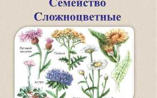 Как называются самые большие цветы из семейства астровых