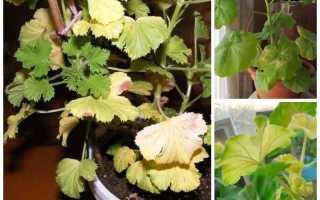Что делать если желтеют листья у герани