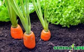 Как собрать семена моркови в домашних условиях