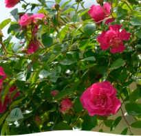 Нужно ли закрывать розы на зиму и как