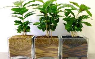 Кофейное дерево как выглядит
