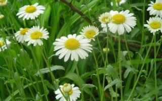 Какие цветы полевые цветут в августе