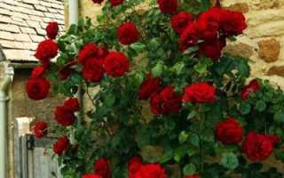 Как размножить плетистую розу черенками