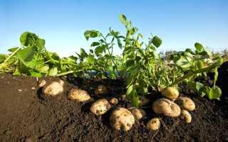 Что можно садить вместе с картофелем