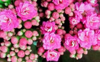 Можно ли пересаживать цветущий каланхоэ