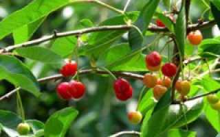 Как выкорчевать корни вишни