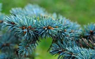 Голубая ель как долго растет