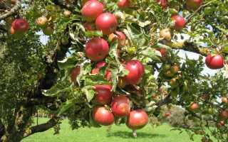 В какую сторону сажать прививку яблони