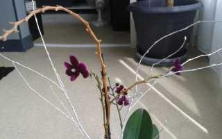 Можно ли обрезать сухие ветки у орхидеи