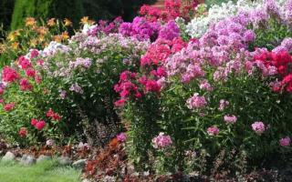 Можно ли сажать рядом флоксы разных цветов
