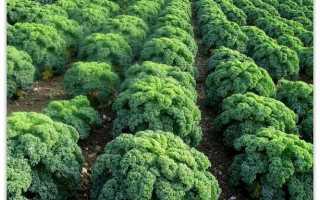 Кейл капуста как выращивать