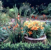 Выгонка лилий в домашних условиях к 8 марта