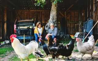 Сколько можно держать кур в личном подсобном хозяйстве