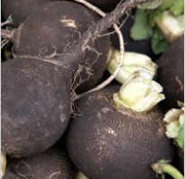 Как приготовить вкусно редьку черную