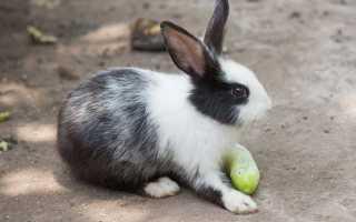 Можно ли кроликам давать огурцы свежие