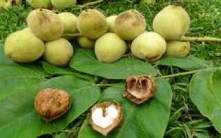 Как растет маньчжурский орех