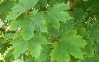 Листья похожие на кленовые что за дерево