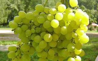 Как выращивать виноград на урале для начинающих