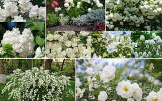 Как называется кустарник с белыми мелкими цветами