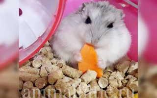 Можно ли морковь хомякам