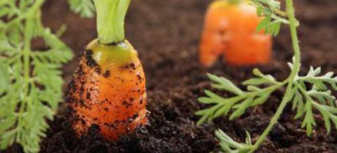 Какую почву любит морковь