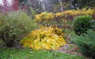 Нужно ли обрезать листья у хосты на зиму