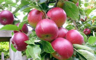 Яблони удобрять навозом как