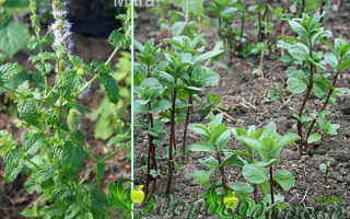 Мелисса растение и мята в чем отличия