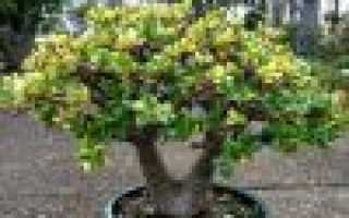 Можно ли осенью пересадить денежное дерево