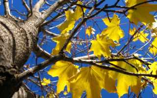 Какие деревья первыми желтеют