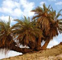Как реанимировать пальму в домашних условиях