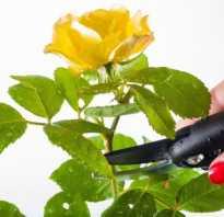 Как обрезать правильно домашнюю розу