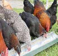Как давать мел курицам