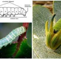 Как ухаживать за гусеницей