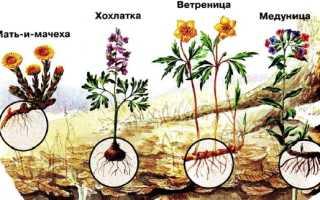 Какое дерево зацветает весной первым