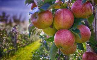 На какой год яблоня плодоносить начинает