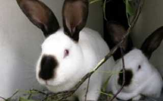Можно ли давать кроликам девичий виноград