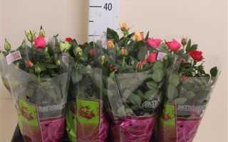 Роза патио хит микс как ухаживать в домашних условиях