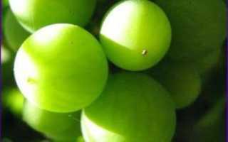 Можно ли делать вино из недозрелого винограда