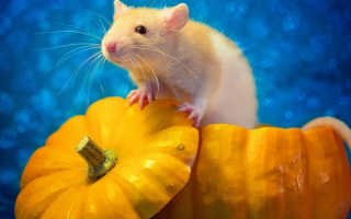 Можно ли есть крысу