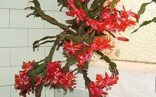 Декабрист цветок как называется по научному